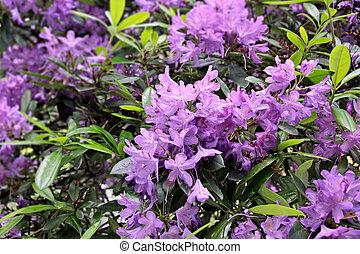 rhododendron, blüten, violett