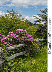 Rhododendron Bloom On Old Wooden Fence