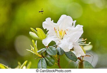 rhododendron, blumengarten, natur, ericaceae, blühen, -, ...