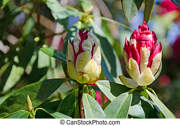 rhododendron buds - Red rhododendron buds