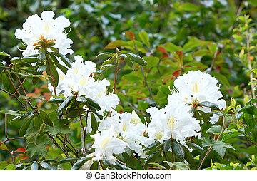 rhododendron, -, buisson, persil, fleurir, blanc