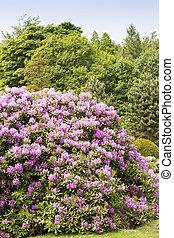 Rhododendron bushes in summer garden in the sunshine
