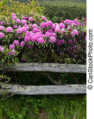 rhododendron, clôture barre