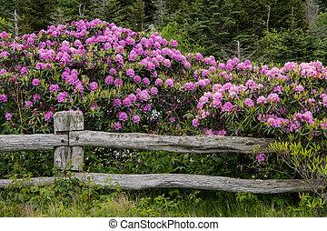rhododendron, couverture, clôture barre