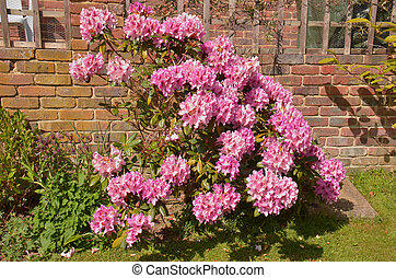 rhododendron, ericaceae), (fam;