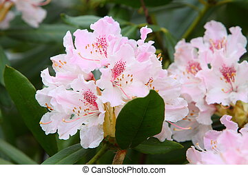 Rhododendron Ericaceae