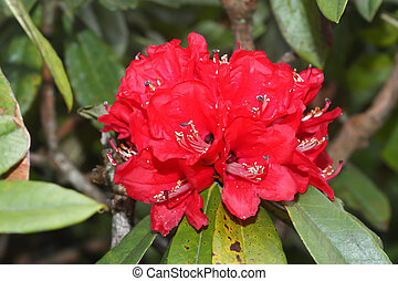 rhododendron flower background in Doi Inthanon, Thailand.