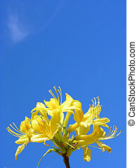 Rhododendron flowers and blue sky