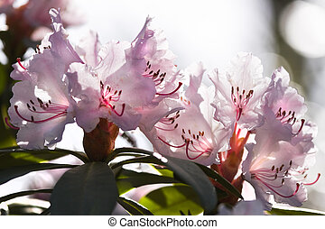 Rhododendron flowers in spring