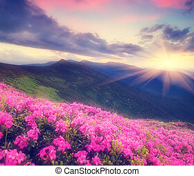 Rhododendron flowers in the mountains - Summer landscape ...