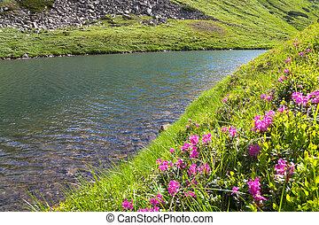 Rhododendron flowers near mountain lake