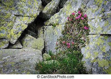 Rhododendron flowers of Retezat Mountains, Romania, Europe