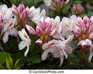 Rhododendron in bloom