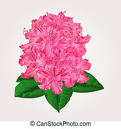 Rhododendron in bloom pink flower Mountain shrub vector illustration