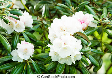 Rhododendron in full bloom. Evergreen leaves in background.