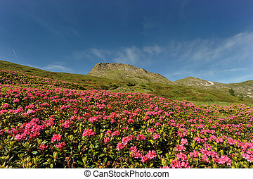 Rhododendron in the mountain