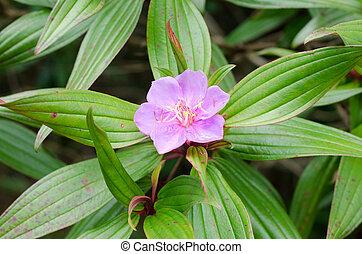 rhododendron, indische
