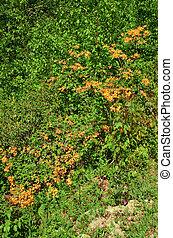 (rhododendron, płomień, azalia, calendulaceum)