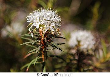 Rhododendron tomentosum in Varnikai - Rhododendron ...