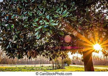 rhododendron tree at sunset