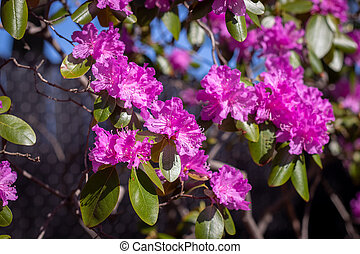 Rhododendron trees closeup at spring full bloom