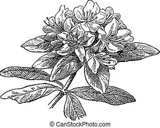 Rhododendron, vintage engraving. - Rhododendron, vintage...