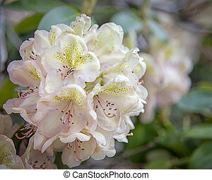 Rhododendron White Flower Blooms