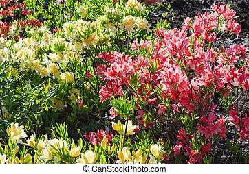 Blossoming of pink and red rhododendrons and azaleas in the garden, natural flower background