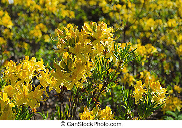 Blossoming of yellow rhododendrons and azaleas in the garden, natural flower background