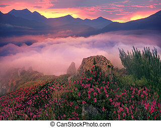 Rhododendrons, some of the most beautiful alpine flowers bloom in late spring and are particularly impressive in the early morning when the fog soltse colors in incredible colors