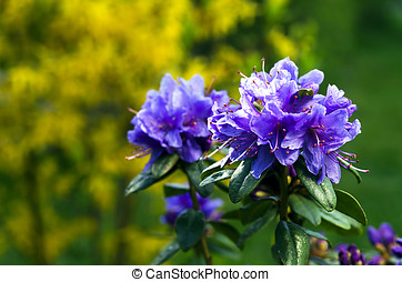 Rhododendrons begin to bloom in the garden