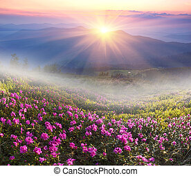High in Ukraine - on the background of Mount Marmarosh in Transcarpathia, when the snow melts becomes warmer - in May and June the rhododendrons bloom is fantastic fantastically beautiful