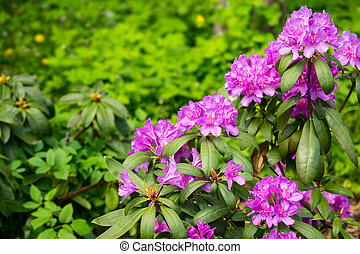 Rhododendron flower in spring day