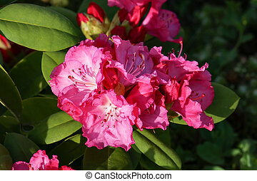 Rhododendrons. The rhododendrons are a genus of the family Ericaceae