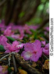 rhododenron, fleurs, baissé