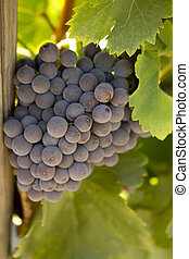 A large bunch of Rhone grapes on the vine.
