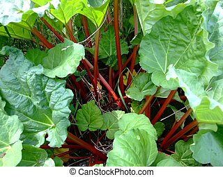 Rhubarb close up - Rhubarb macro,the stalks are edible but...