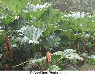 Rhubarb - Huge crops of rhubarb.
