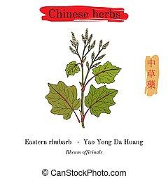 rhubarbe, oriental, rheum, herbes, médicinal, china., ...