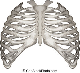 Rib cage - Illustration of the rib cage on a white...