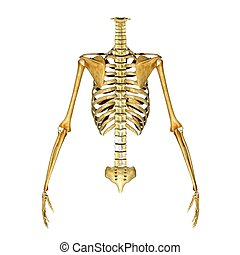 Rib cage - The rib cage is an arrangement of bones in the...