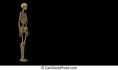 Rib cage - In vertebrate anatomy, ribs (Latin: costae) are...