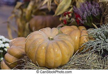 ribbed orange two pumpkins in the hay on a blurry background of a garden autumn pattern