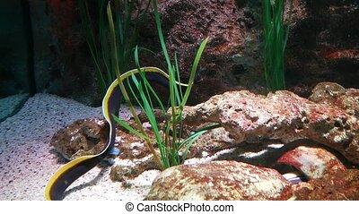 ribbon eel, Rhinomuraena quaesita, in clear water at the bottom of the aquarium.