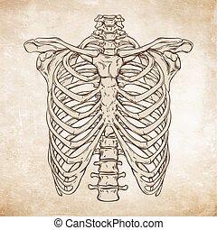 ribcage, desenhado, vetorial, mão humana