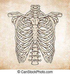 ribcage, dessiné, vecteur, main humaine