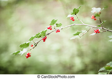 Ribes alpinum berries and blurry background