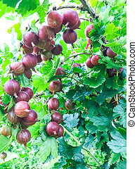Ribes uva-crispa with red berries on branches