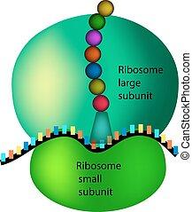 ribosome., isolado, ilustração, infographics., vetorial, fundo, estrutura