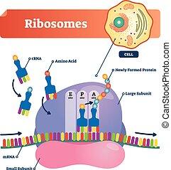 Ribosomes vector illustration. Anatomical and medical...